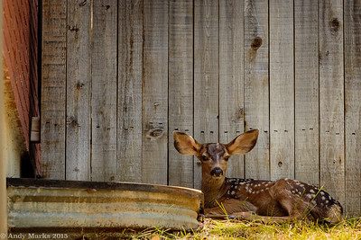 Fawn 2, less cropped
